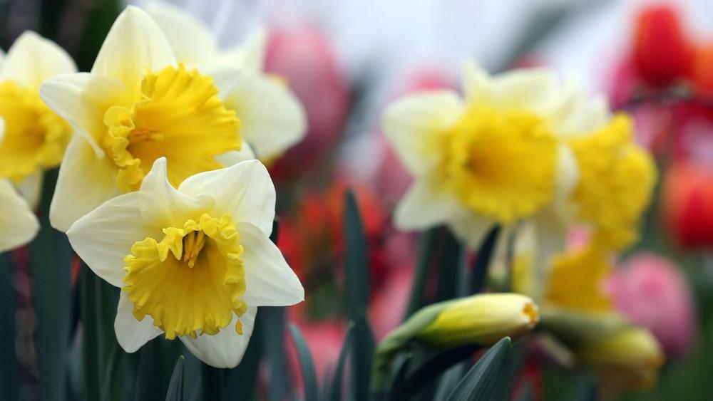 Irány Kaposvár: a nárciszünnepen megannyi program vár!