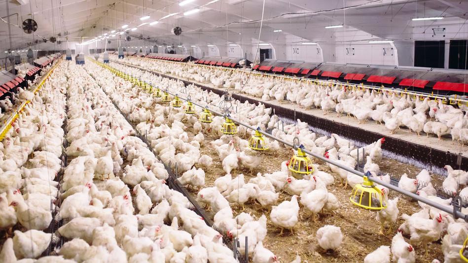 Betartják az előírásokat a magyar gazdák: jó körülmények között tartják az állatokat