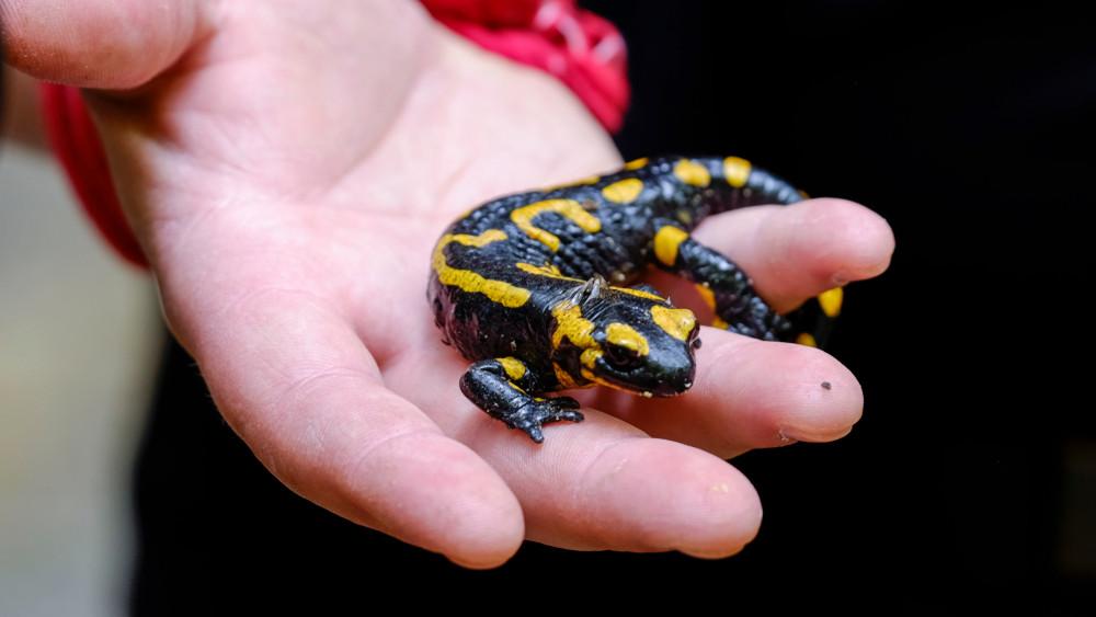 Ez a csodálatos kis állat az év kétéltűje: így óvhatod meg a kihalástól