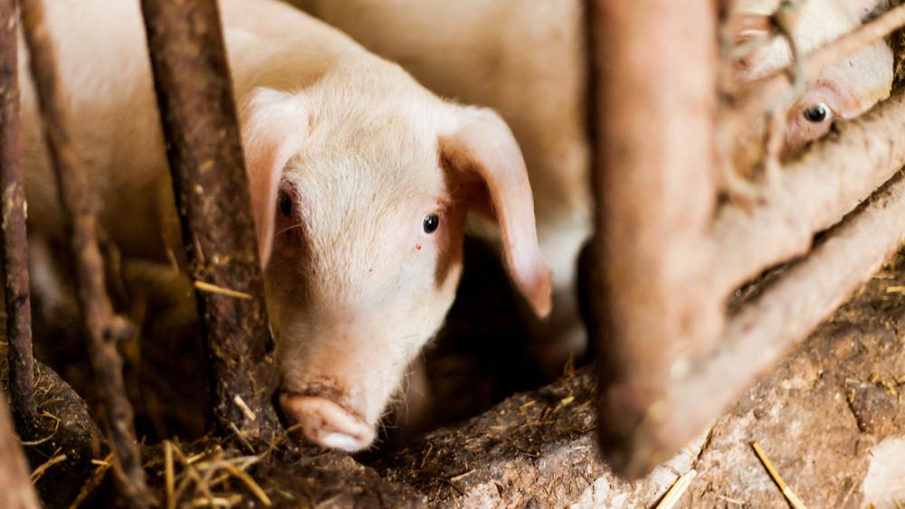 Súlyos csapás a gazdáknak: megszabnák, mennyi állat tartható