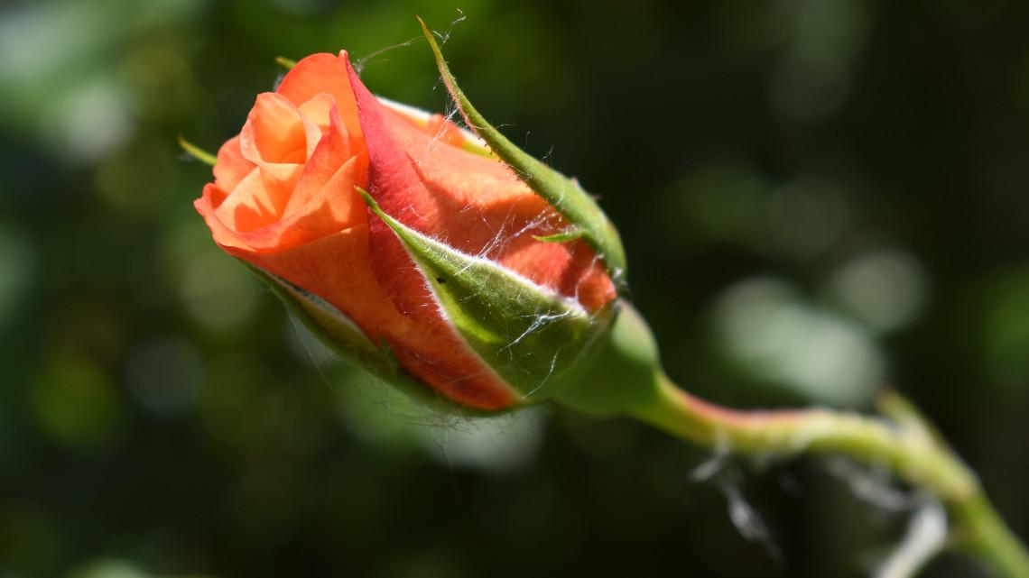 Ilyen egyszerűen ültethetsz otthon rózsát: csak egy krumpli kell hozzá + videó