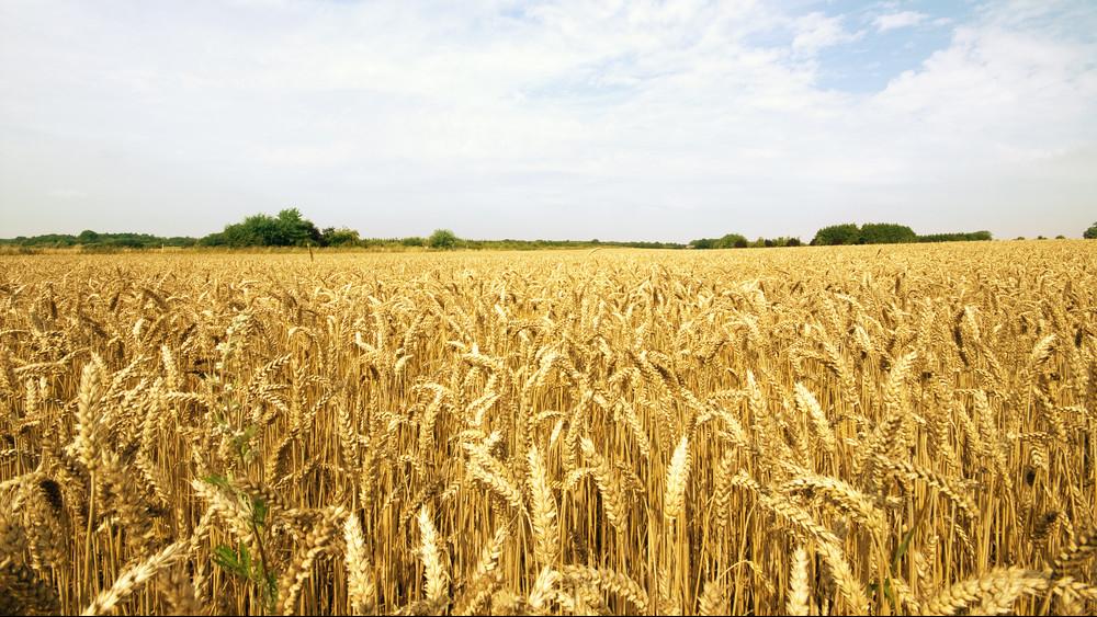 Veszélyben a magyar kenyér: hatalmas pusztítást végezhet az aszály