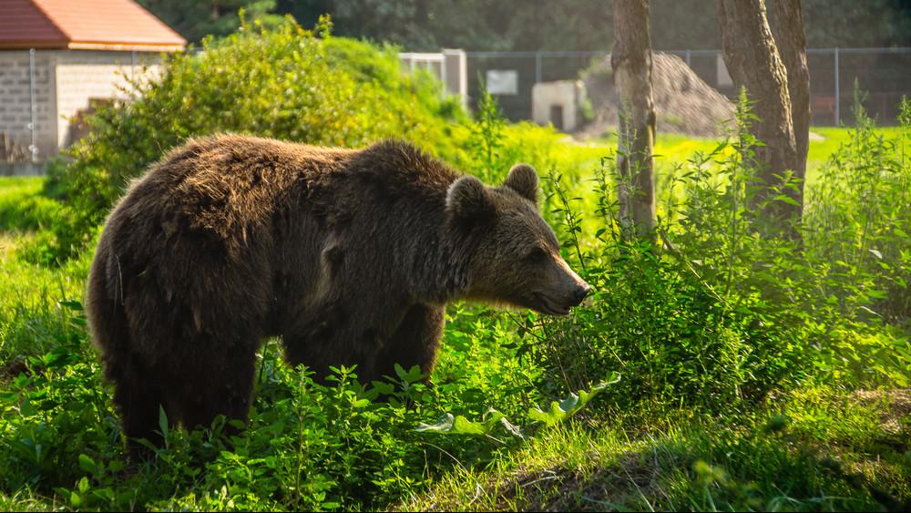 Újabb medve bukkant fel: most Balatonnál láttak egy példányt