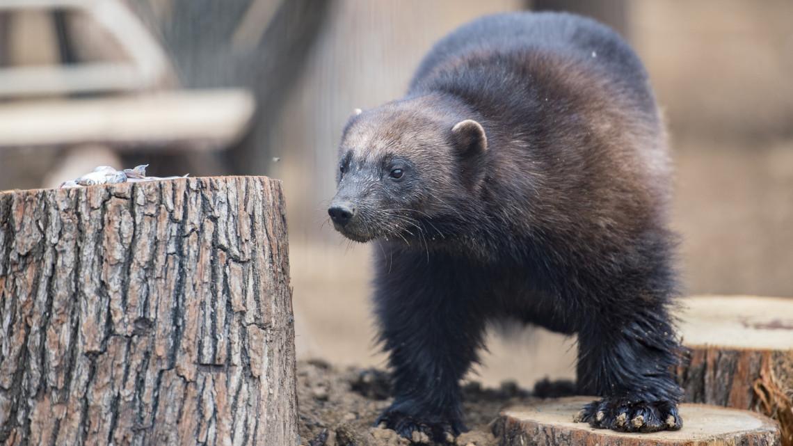 Íme, a pécsi állatkert új lakója: a cuki pofi veszélyes ragadozót rejt