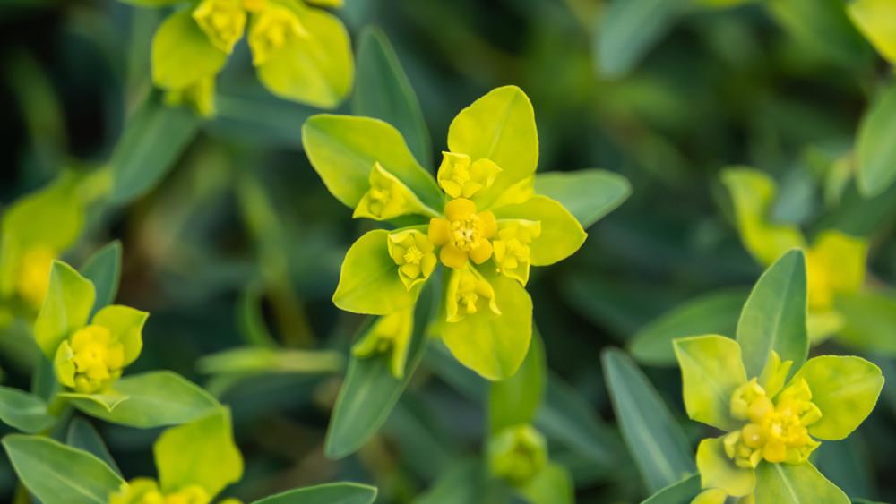 Ezt az 5 virágot soha ne ültesd el a kertben: gyönyörűek, de veszélyesek