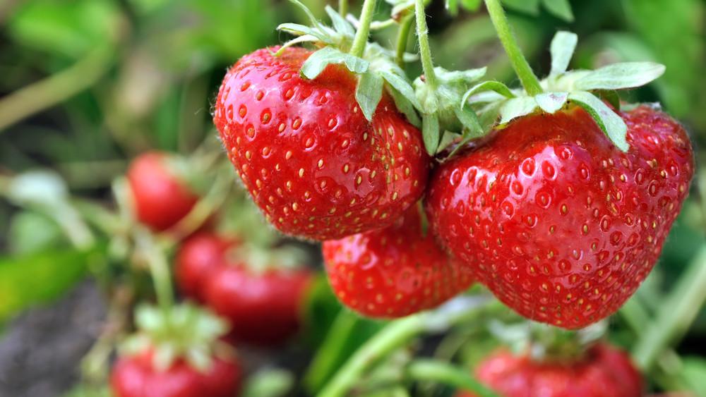 Vigyázat: átverés lehet a piacokon a magyar eper