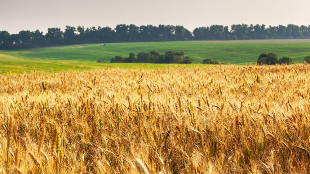 Betett az aszály a magyar kenyérnek: az Alföldön már öntözik a búzát