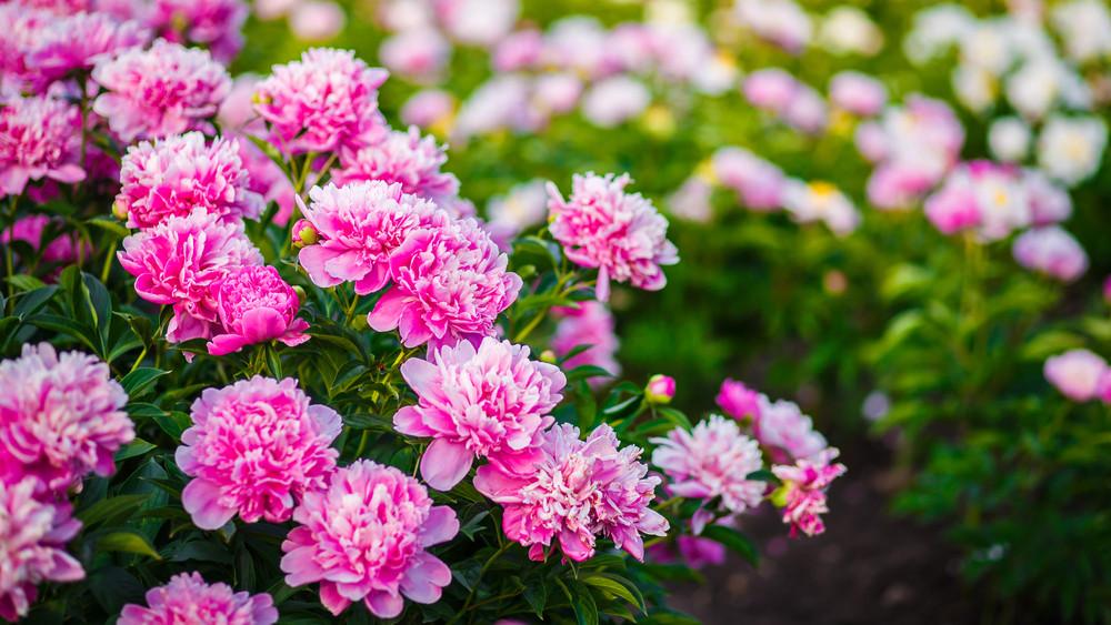 Csodaszép cserjék: ezeket ültesd el és hónapokra virágba borul a kerted