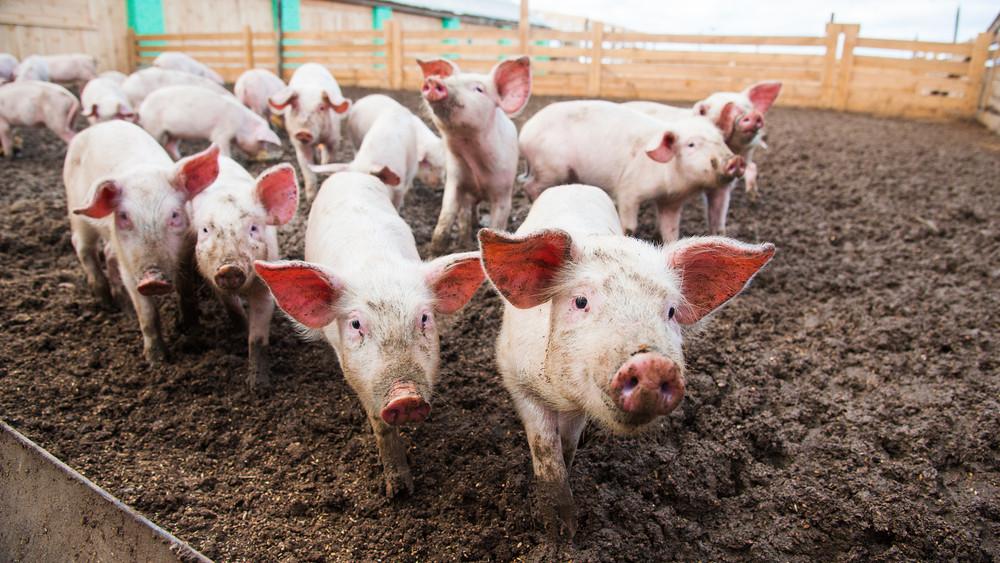 Durva áremelkedés várható: jól járhatnak a magyar gazdák a sertéspestissel