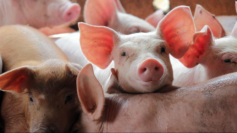 Ránk is hatással van a sertéspestis: nagyot drágulhat a sertés- és baromfihús