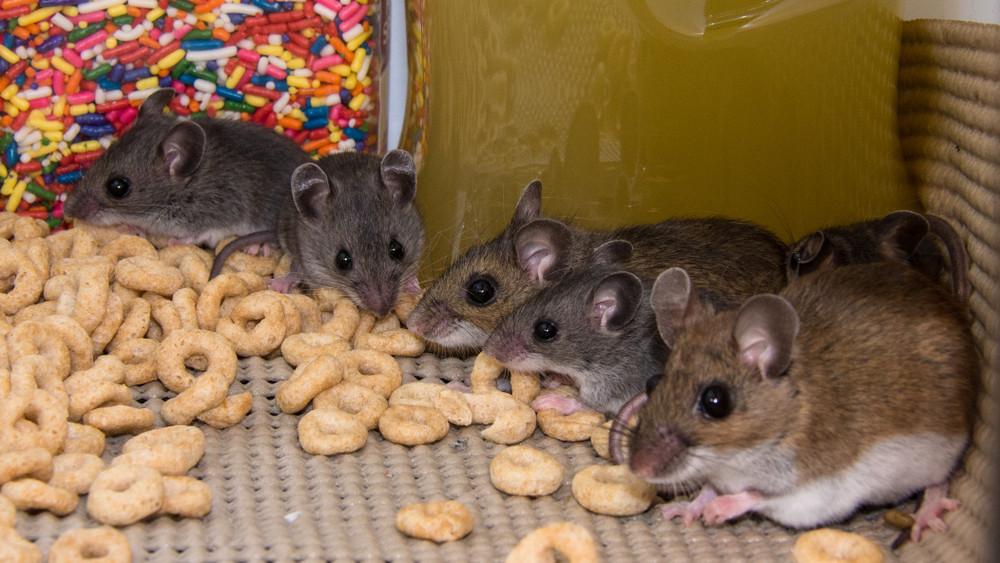 Patkányinvázió: így védd meg otthonod a falánk rágcsálóktól