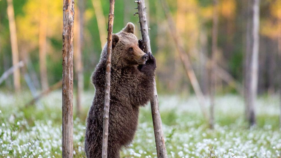 Ismét medvét láttak Magyarországon: ezen a területen ólálkodik
