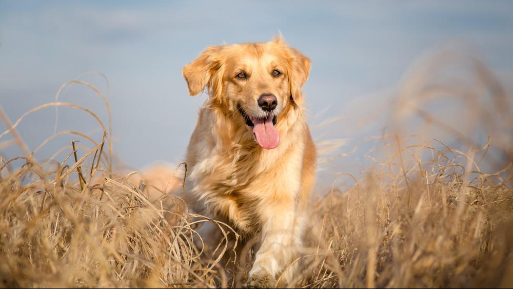 Mutatjuk, mely kutyafajták tanulnak a leggyorsabban