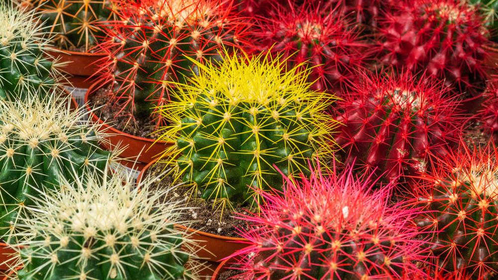 Holtbiztos tippek növénygyilkosoknak: így ültess kaktuszt otthon + videó