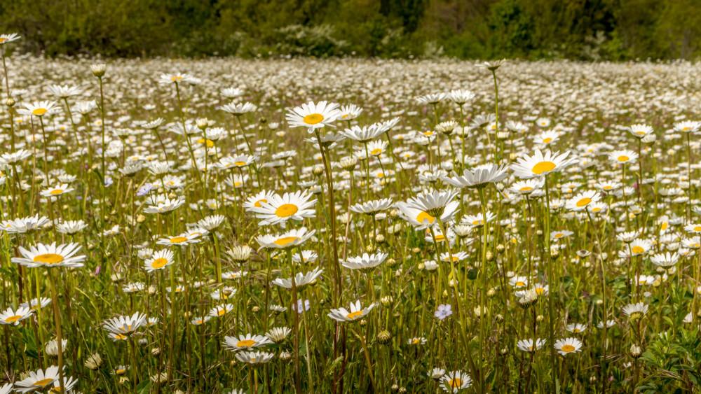 Gaznak hisszük, pedig gyógynövény: ez az apró virág hatalmas titkokat rejt