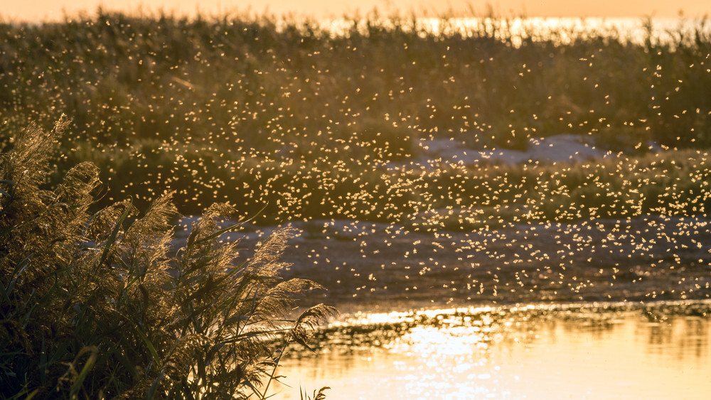 Elárasztják a szúnyogok a Balatont: szükséges az újabb irtás