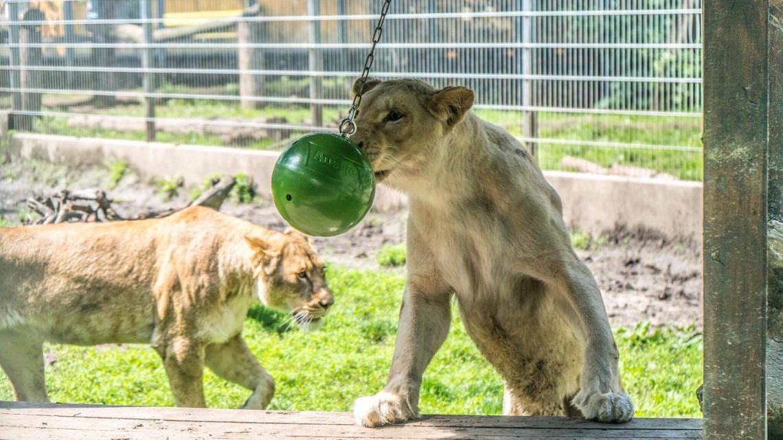Gyermeknap a Nyíregyházi Állatparkban: így lepték meg az állatkölyköket