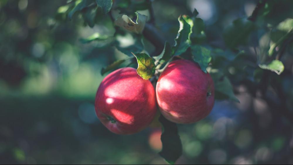 Nevetségesen olcsó és túl sok a magyar alma: jön az ültetvények felszámolása?