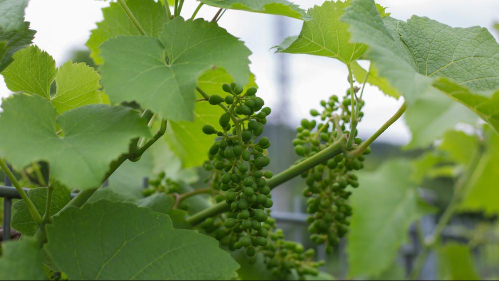 Befellegzett idén a magyar bornak? A szőlősgazdák zöldszüretet javasolnak