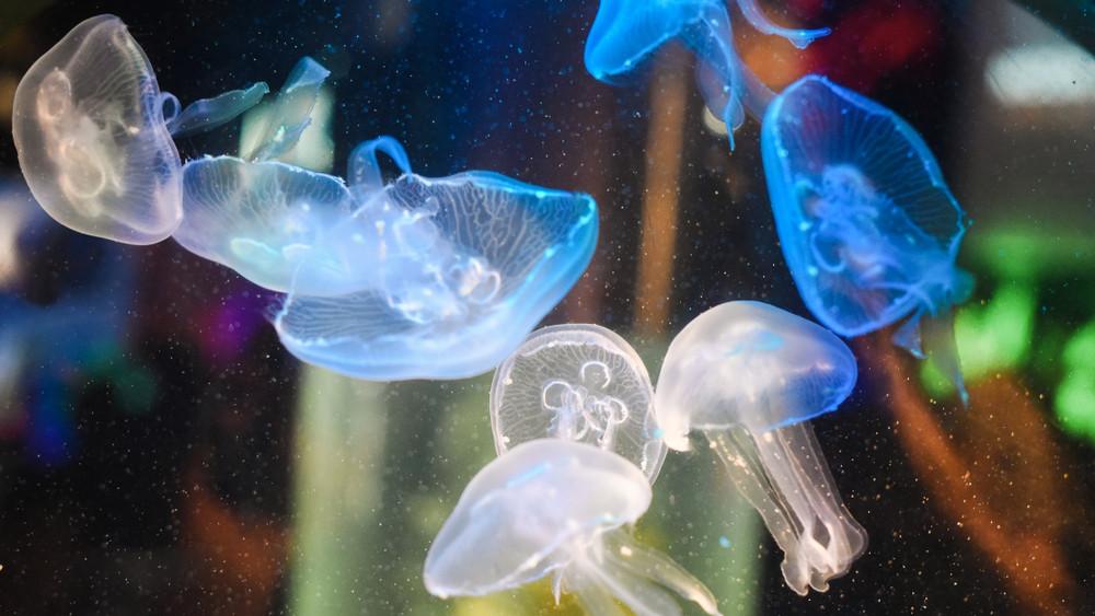 Tudtad? Hemzsegnek a medúzák a magyar vizekben + videó