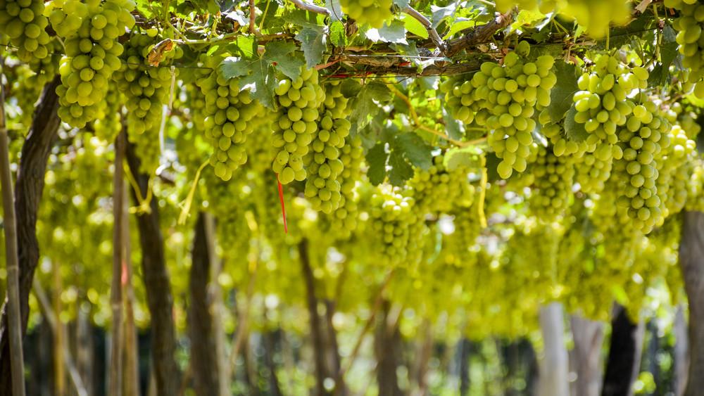 Hivatalos: ennyi pénzt kap a zöldszüretért egy szőlőtermelő