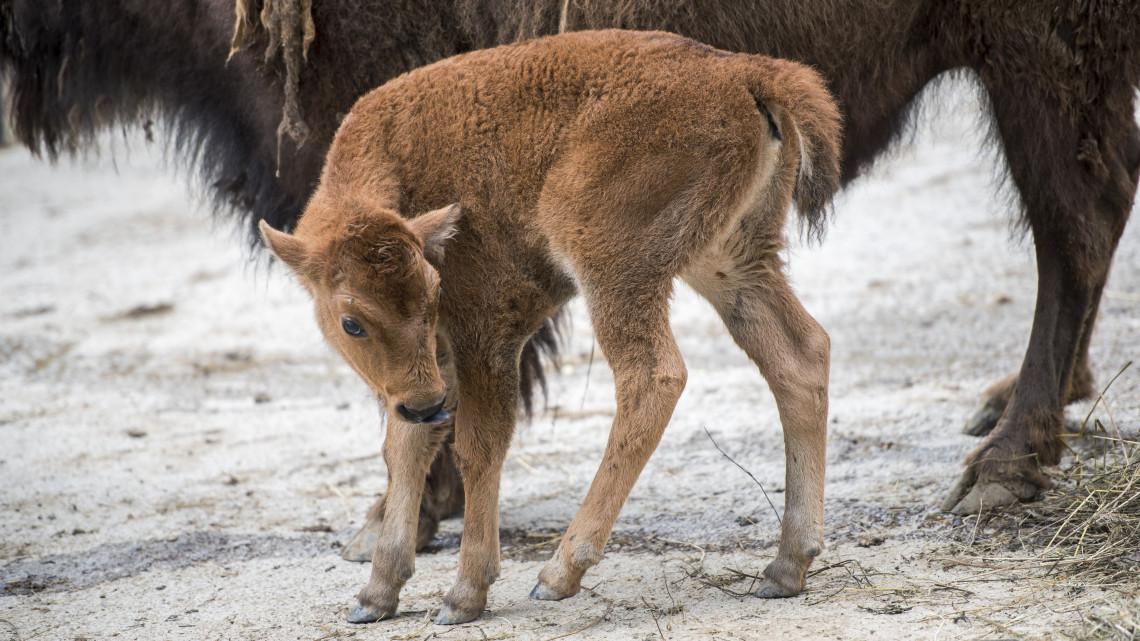 Nagy az öröm a Nyíregyházi Állatparkban: két bölénybébi született egy héten belül