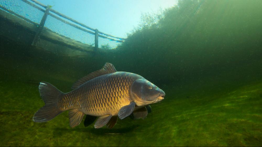 Ezt látnod kell: óriási pontyot fogott ki a balatoni horgász