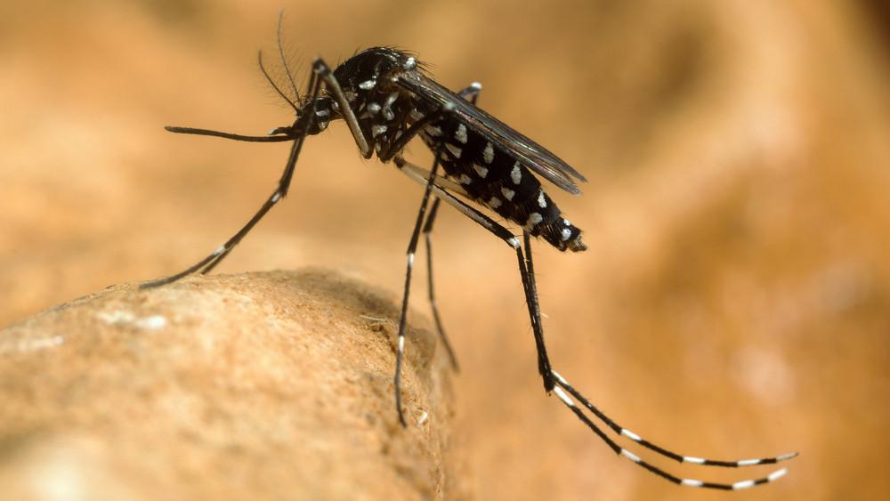 Veszélyes szúnyogok jelentek meg Magyarországon: halálos kórt terjeszthetnek