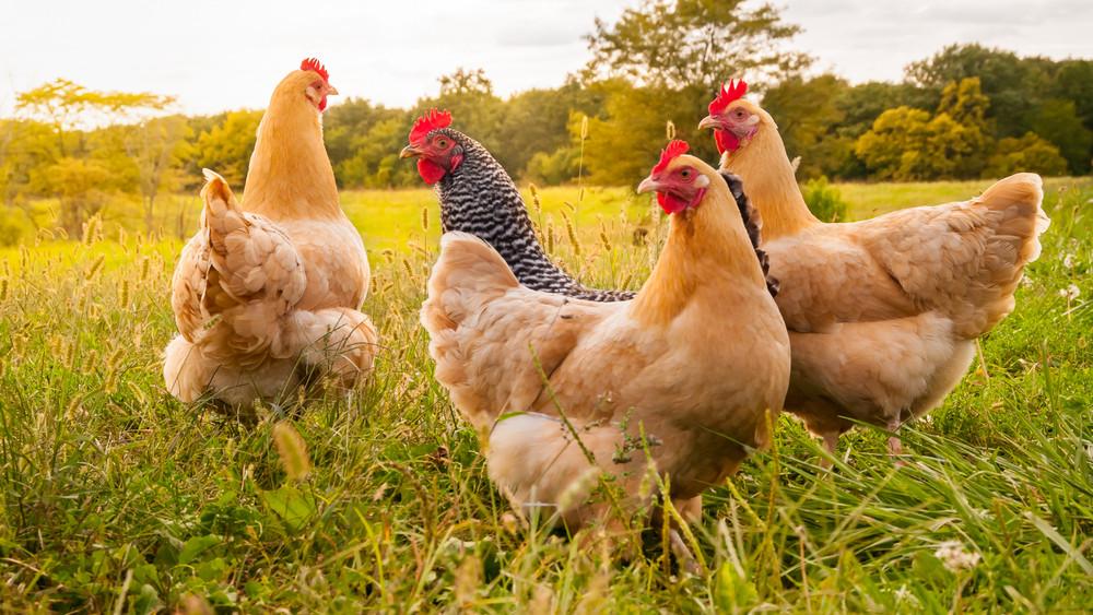 Gazdák figyelem: új támogatásra lehet pályázni a baromfi- és sertéságazatban