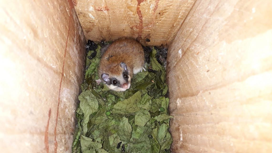 Sikeres az erdei csok: a kisállatok kezdenek hozzászokni a kényelemhez