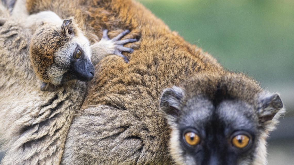 Új lakót köszöntöttek a Nyíregyházi Állatparkban: sárgaszakállas maki született