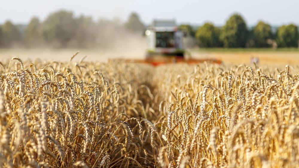 Hetekre leáll az aratás: kibabrált az időjárás a magyar gazdákkal