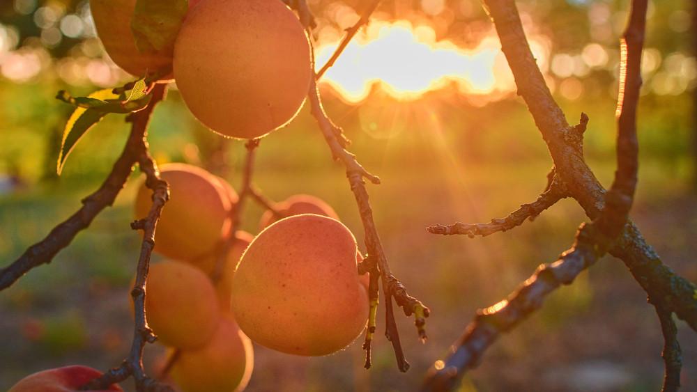 Már szüretelik a kajszit: jó termésre számítanak a gazdák