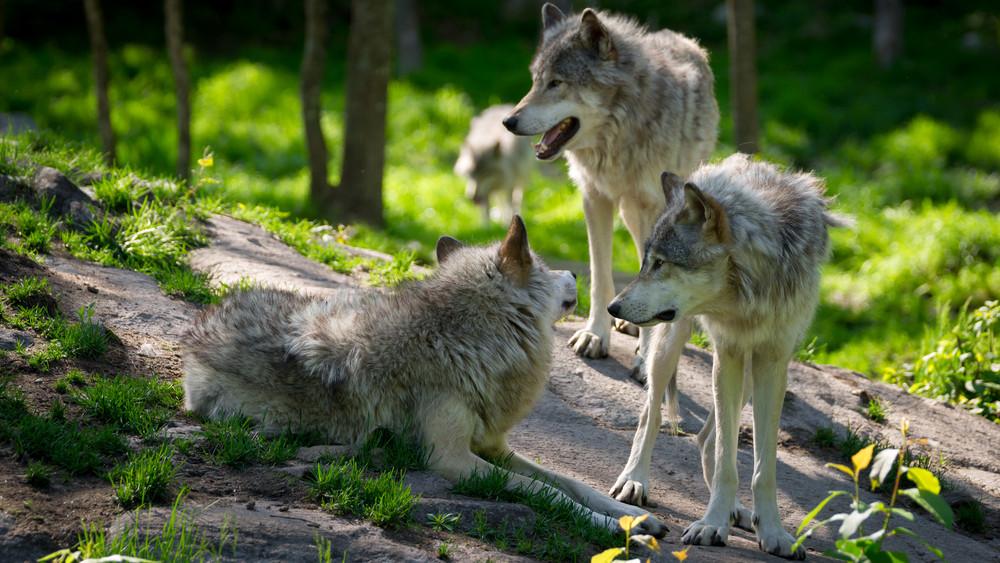 Farkasok ólálkodnak a Zemplénben: már haszonállatokat is pusztítanak