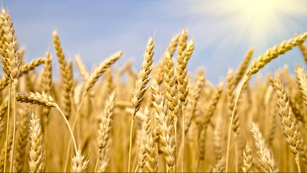 Nehéz évük van a gazdáknak: hatalmas károkat okozhat a hőség a kalászosoknál