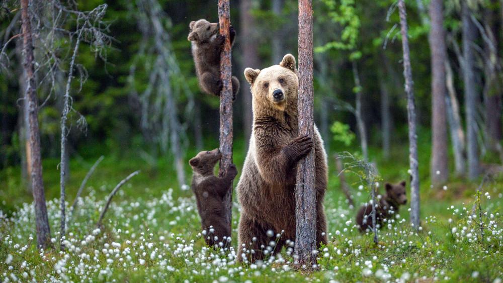 Vakmerő gyerekek: kézből etetik Erdélyben a medvéket
