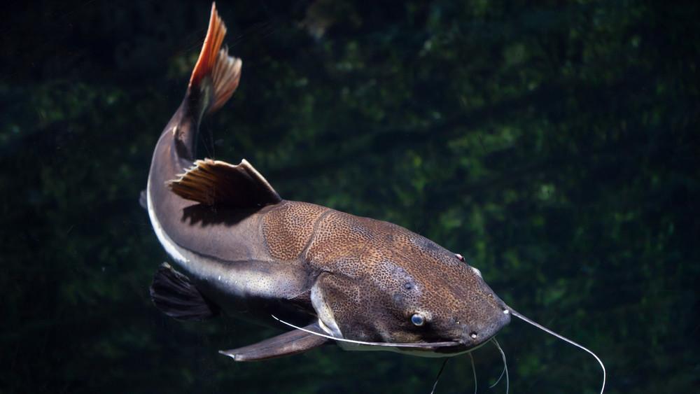 Óriási halszörny akadt horogra: így fogták ki a merenyei horgásztóból