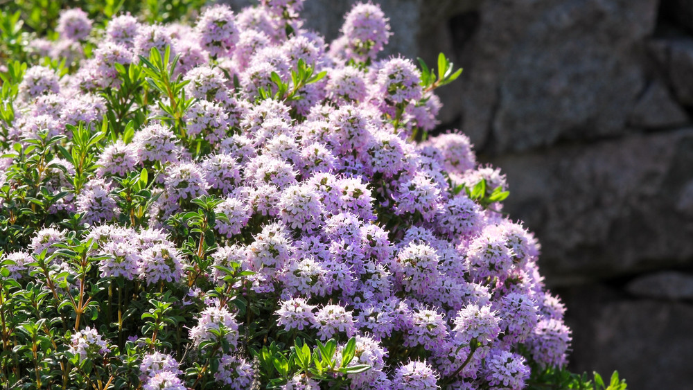 9 fűszernövény, ami tűző napon is jól érzi magát