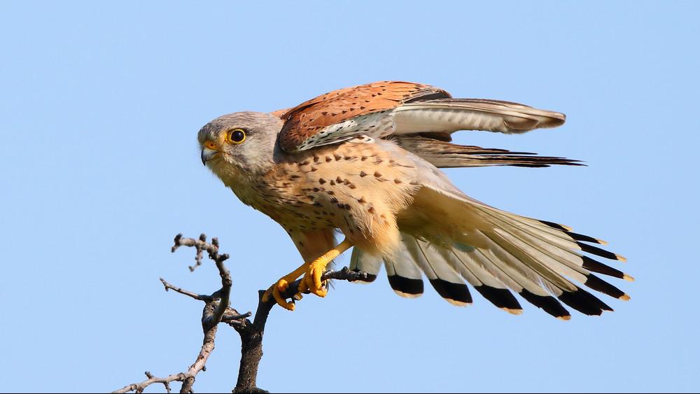 Költőládákkal a madárvédelemért: vércséken segítenek Vas megyében
