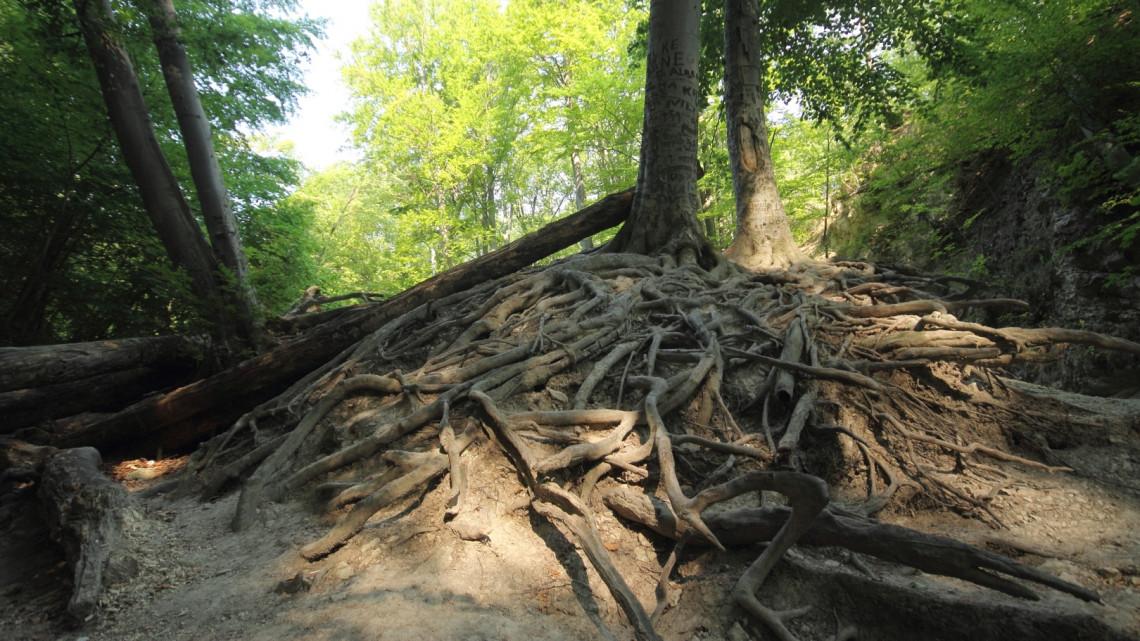 Génmegőrzéssel az erdőkért: így mentik a fákat a Pilisben