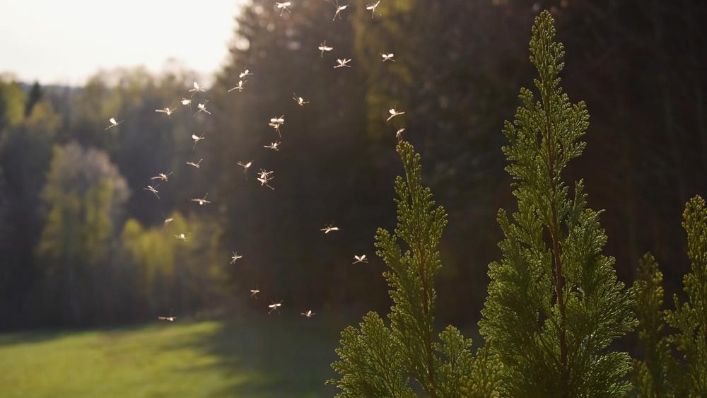 Elviselhetetlen a szúnyoghelyzet: itt folytatódnak a gyérítések