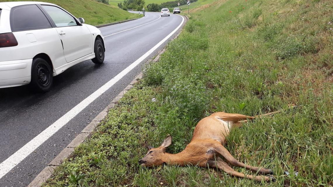 Ellepték az őzek a magyar utakat a párzási időszakban: így kerüld el a balesetet!