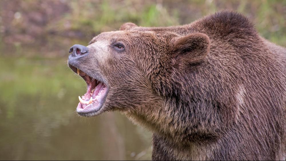 Veszélyes medvék garázdálkodnak a magyar határnál: rettegnek a gazdák