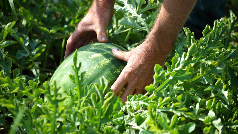 Várni kell még az olcsó dinnyére: a gazdák örülnek a magas árnak