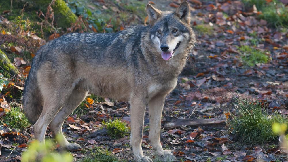 Ellepték a farkasok a Zemplént: így védenék meg őket