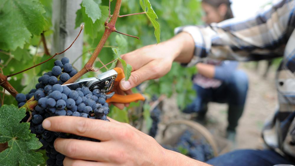 Korábban kezdődik idén a szüret: jót tett a szőlőnek a júliusi meleg