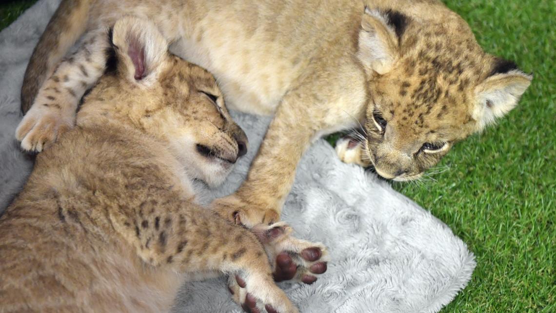 Egzotikum Veresegyházon: cirkuszi oroszlánok költöztek a Medveotthonba
