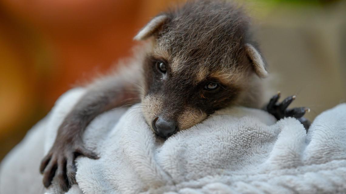 Egekben a cukiságmérő: a Debreceni Állatkertben tenyérnyi mosómedve született