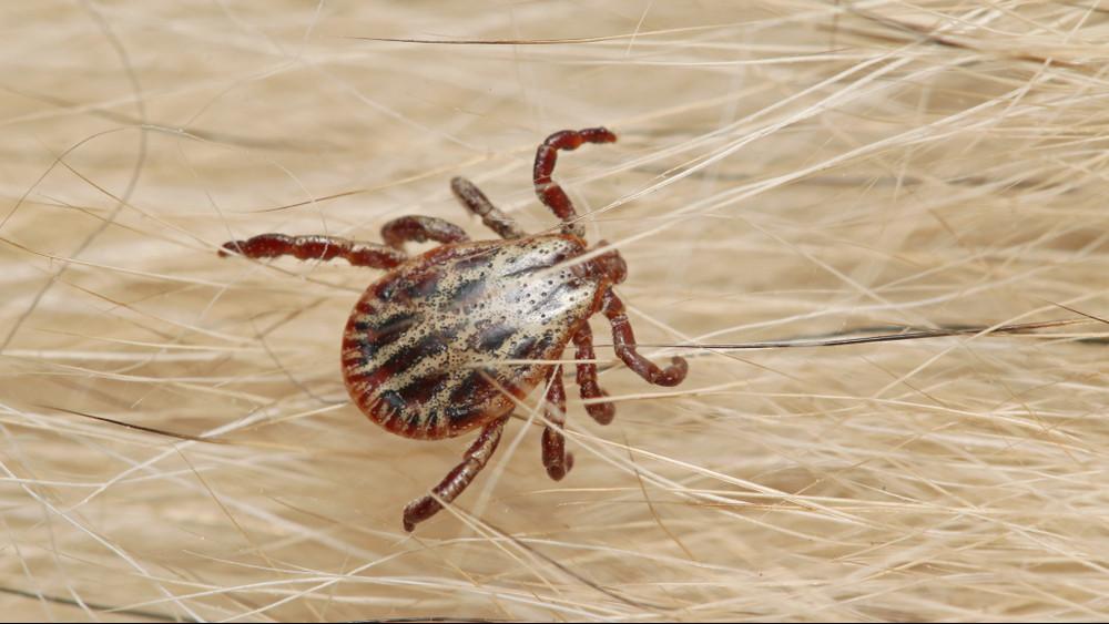 Veszélyes afrikai kullancs jelent meg az országban: durva betegséget terjeszt