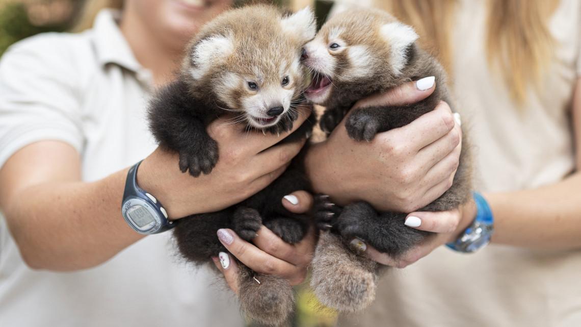 Ledobták a cukiságbombát: vörös macskamedvék születtek Nyíregyházán